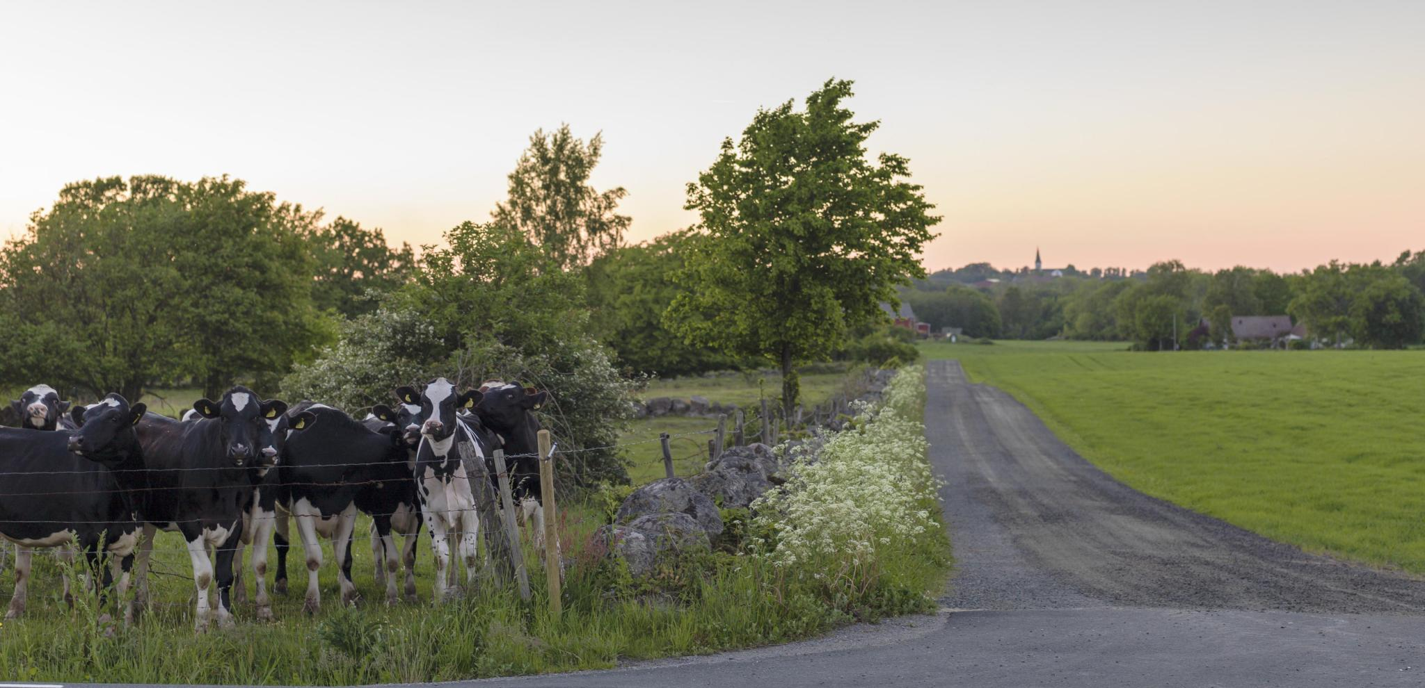 Cows by a road in Österlen