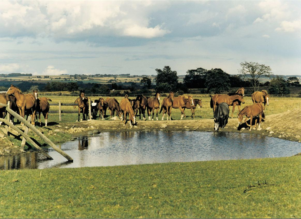 Horses drinking water in Flyinge