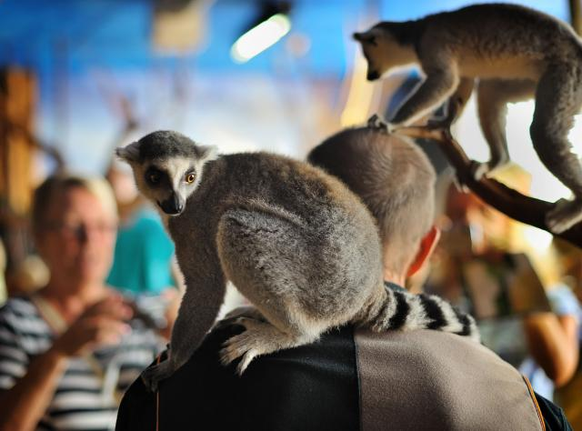 Lemur on a shoulder © Tropikariet