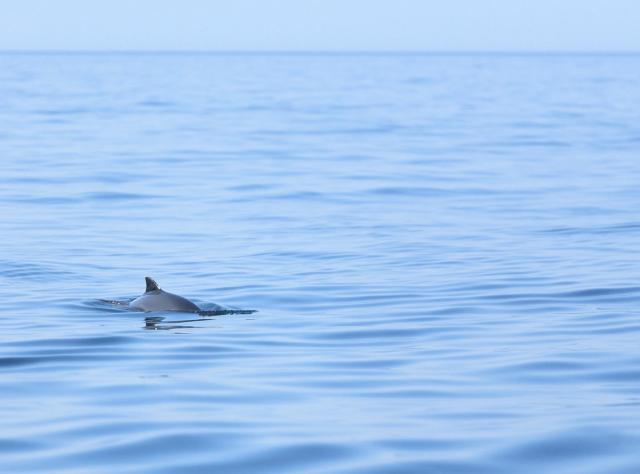 Porpoise swimming in the ocean © Kullabergsguiderna