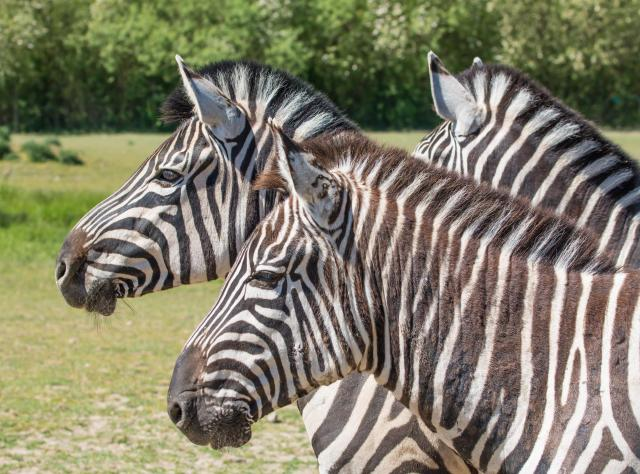 Zebras at Ystad Animal Park © Susanne Nilsson