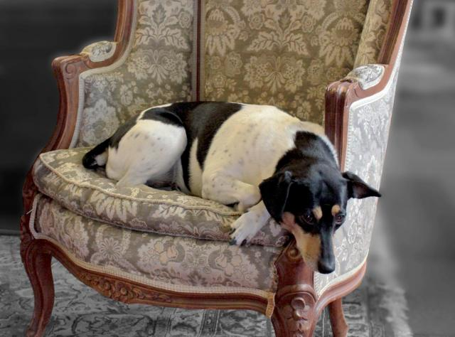 Dog resting in an antique armchair